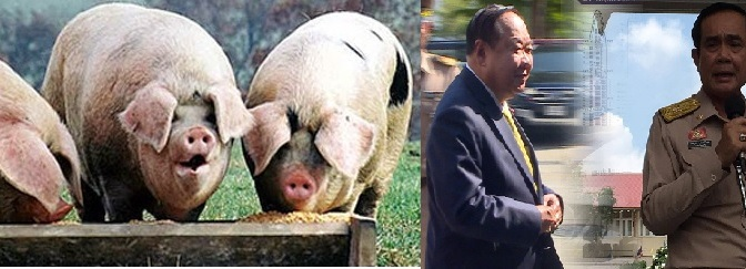 Pigs at the feeding trough